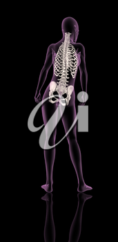 3D render of a female medical skeleton showing rib cage, spine and hip bone