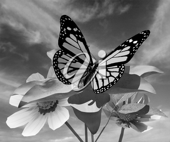 Beautiful Cosmos Flower and butterfly against the sky
