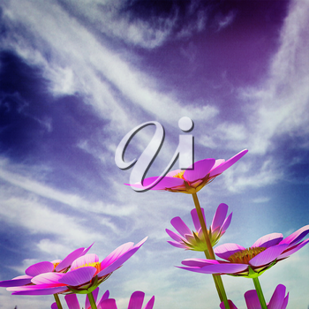 Beautiful Cosmos Flower against the sky. 3D illustration.