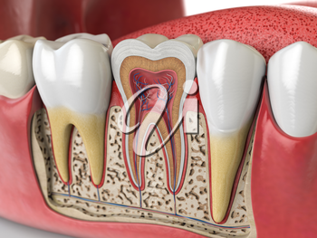 Human teeth anatomy. Cross section of  human tooth. 3d illustration
