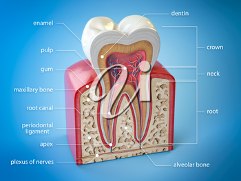 Dental tooth anatomy. Cross section of human tooth  with infographics and description. 3d illustration