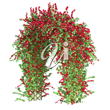 Bushes of red roses with green leaves that curl on a metal arch pergola