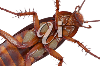 Cockroach bug small orange and brown body, close view. 3D rendering