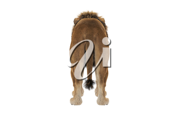Lion animal with light hair and fur, back view. 3D rendering